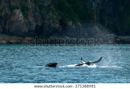 Water sprays into the air after an upside down Orca slaps the water with its tail. - stock photo