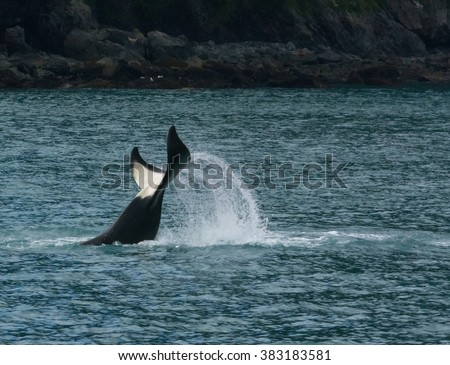 Water sprays off rapidly raising Orca tail. - stock photo