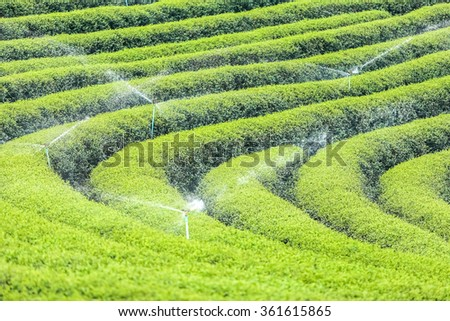 water sprinkle in tea plantation in Chiang Rai Province North of Thailand