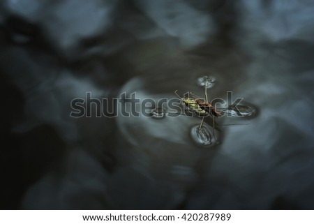 Water strider  - stock photo