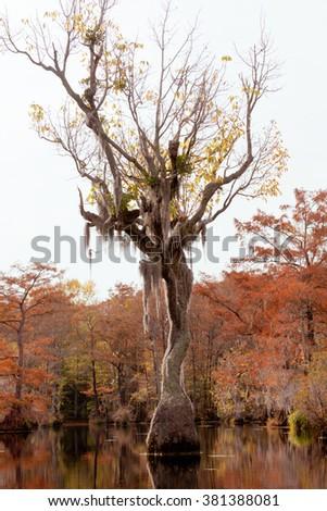 Water Tupelo, Nyssa aquatica, in wetland fall forest of Merchants Millpond State Park, North Carolina, NC, USA - stock photo