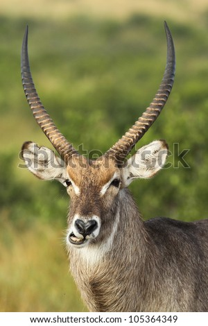 Waterbuck antelope in good morning light - stock photo