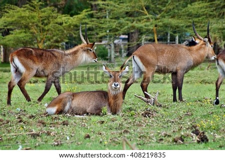 Waterbuck antelopes in grass - stock photo