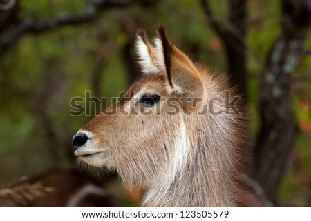 Waterbuck in Kruger National Park, South Africa. - stock photo