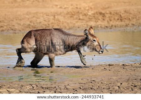 Waterbuck (Kobus ellipsiprymnus) in mud, Pilanesberg National Park, South Africa  - stock photo