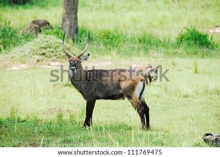 Waterbuck, Murchison Falls National Park (Uganda) - stock photo