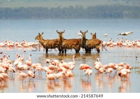 Waterbuck, pelicans and flamingos - stock photo