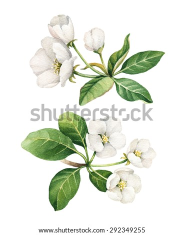 Watercolor apple flower illustrations - stock photo