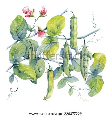 watercolor background peas - stock photo