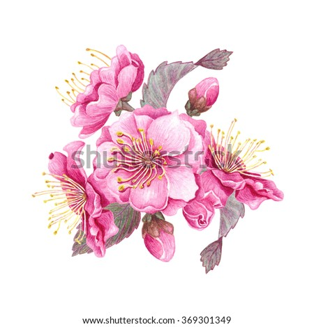Watercolor Cherry blossom, isolated on white background. Botanical illustration for Save the Date, Valentines day Cards, Wedding invitation, Covers. Poster & textile design. Hand drawn illustration. - stock photo