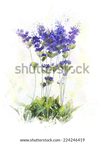 Watercolor Digital Painting Of Lavender Flowers - stock photo