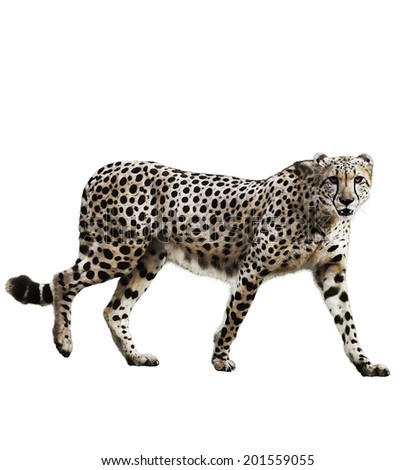 Watercolor Digital Painting Of  Walking Cheetah Isolated On White Background - stock photo