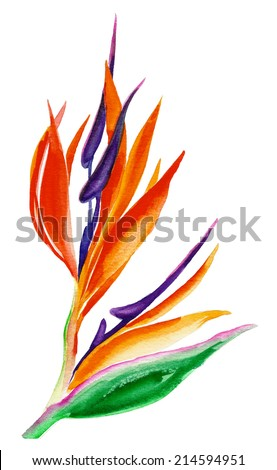 watercolor drawing of an exotic bird of paradise flower - stock photo