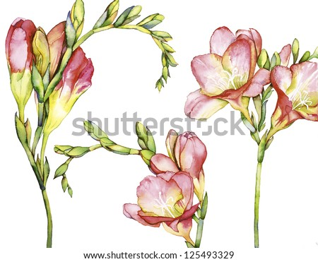 Watercolor drawing  with Freesia flower - stock photo