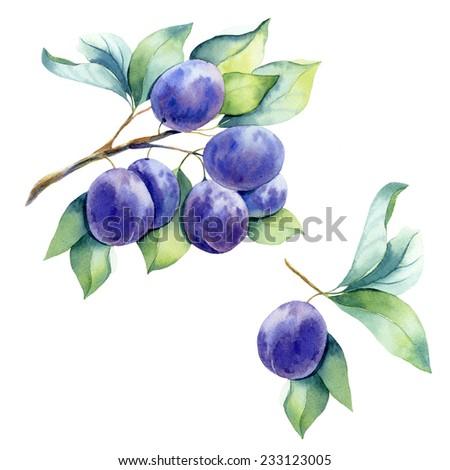 watercolor fruit plum branch  - stock photo