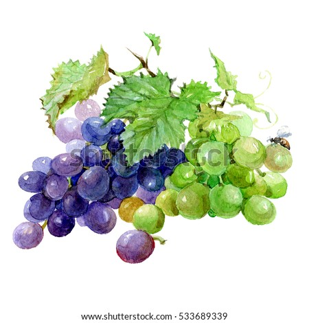 Grapevine Stock Images Royalty Free Images Amp Vectors