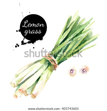 Watercolor hand drawn lemongrass. Isolated eco natural food vegetables herbs illustration on white background - stock photo