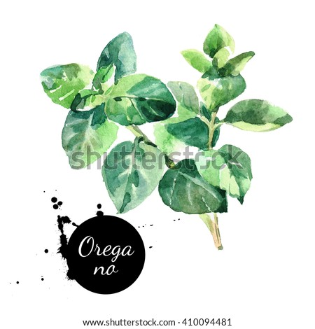 Watercolor hand drawn oregano leaves. Isolated eco natural herbs illustration on white background - stock photo