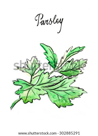 Watercolor hand drawn twig of parsley - Illustration - stock photo