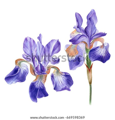 Iris flower stock images royalty free images vectors shutterstock watercolor hand painted iris flower can be used as romantic background for web pages pronofoot35fo Image collections