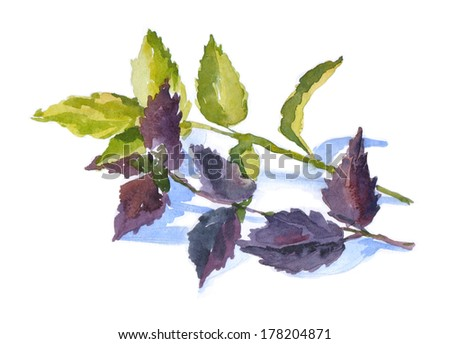 watercolor herbal basil, spices.  - stock photo