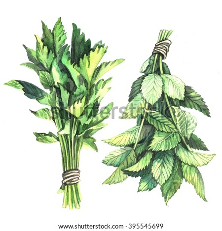 Watercolor herbs Parsley and Mint. Watercolor illustration. Illustration for greeting cards, invitations, and other printing projects. - stock photo