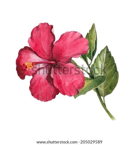Watercolor hibiscus flower illustration - stock photo