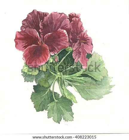 Watercolor illustration of blossom geranium - stock photo