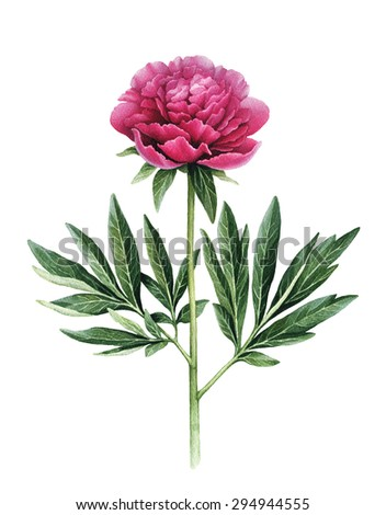 Watercolor illustration of peony flower - stock photo