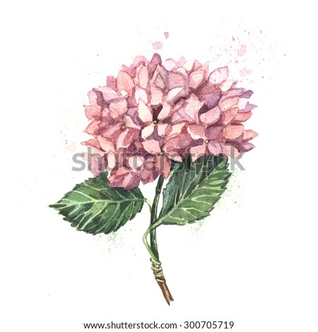 Watercolor illustration of pink hydrangeas. Watercolor. Illustration for greeting cards, invitations, and other printing projects.