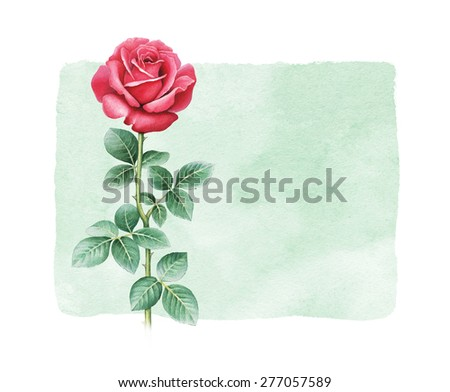 Watercolor illustration of rose flower - stock photo