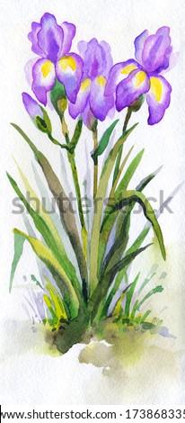Watercolor landscape. Lush purple irises in the park, illuminated by bright spring sun - stock photo