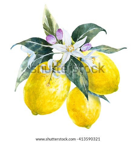 watercolor lemon branch with flowers, isolated object on white background, citrus - stock photo