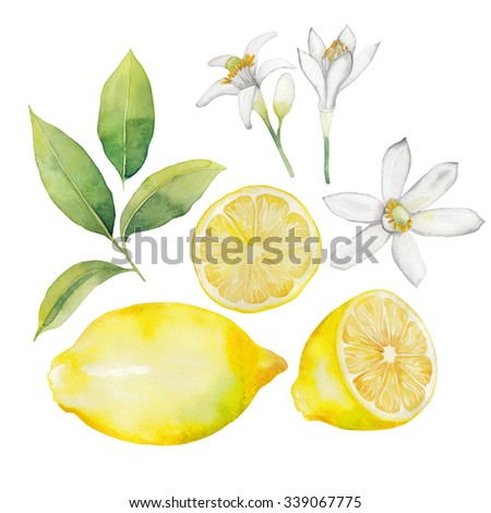 Watercolor lemon collection.  Fruit, leaves and flowers isolated on white background - stock photo