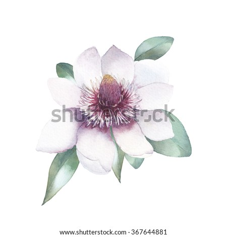 Watercolor magnolia. Hand painted botanical illustration. Single flower with leaves isolated on white background. Artistic natural object - stock photo