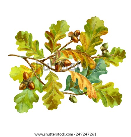 watercolor oak branch with acorns on white background - stock photo