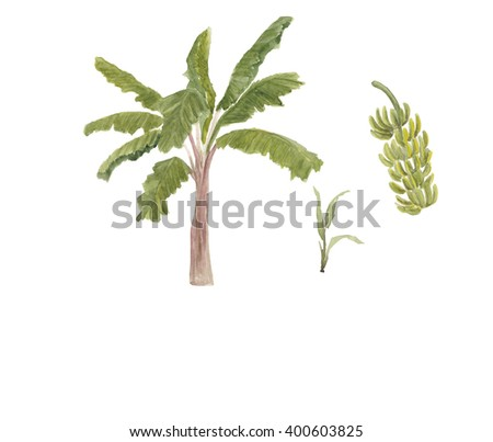 Watercolor painting banana tree and branch of bananas isolated on white background - stock photo