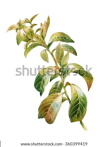 watercolor painting of green leaves on white background  - stock photo
