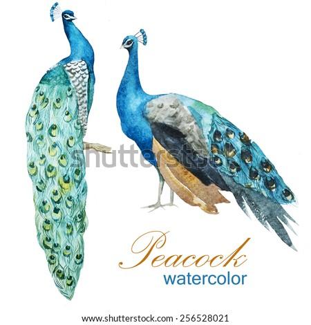 watercolor, peacock, drawing,bird - stock photo