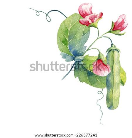 watercolor peas - stock photo