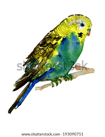 watercolor picture of budgie.  - stock photo