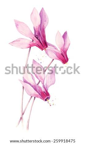 Watercolor pink cyclamen - stock photo