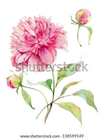 Watercolor pink peony. - stock photo
