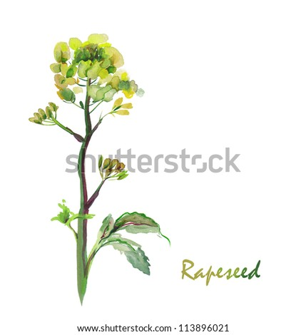 Watercolor  -Rapeseed flower- - stock photo