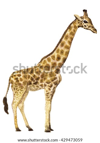 watercolor sketch of giraffe  on a white background