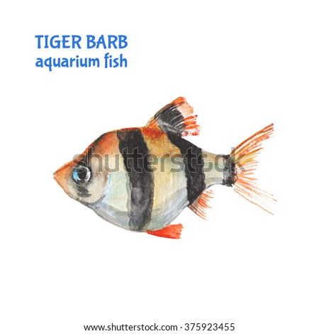 Tiger barb stock images royalty free images vectors for Tiger striped fish