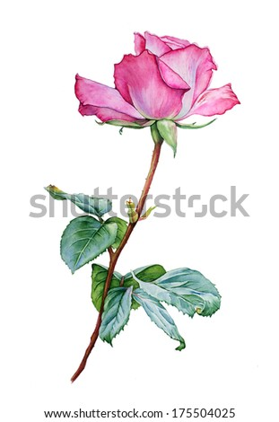 Watercolor with a Rose flower - stock photo