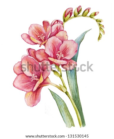 Watercolor with freesia flower - stock photo
