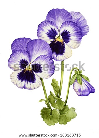 Watercolor with Pansies flower - stock photo