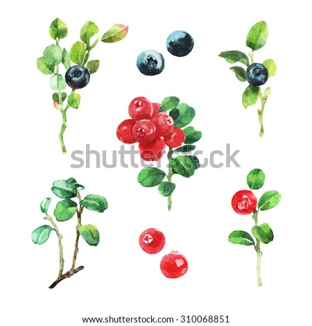 Watercolour illustration of wild berries - blueberry and cranberry